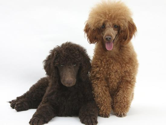 Chocolate Standard Poodle Puppy Tara