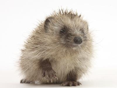 Baby Hedgehog (Erinaceus Europaeus) Portrait, Holding One Paw Aloft