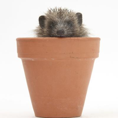 Baby Hedgehog (Erinaceus Europaeus) in a Flowerpot