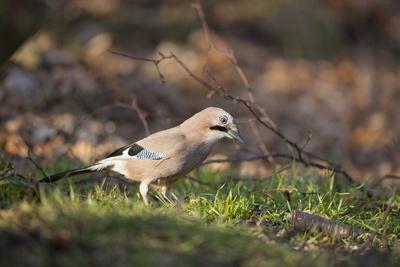 Jay (Garrulus Glandarius). Scotland, UK, February