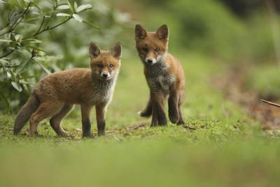 Red Fox (Vulpes Vulpes) Cubs, Hertfordshire, England, UK, May
