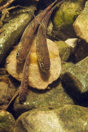 Brown Trout (Salmo Trutta) Fry on River Bed, Cumbria, England, UK, September
