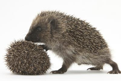 Two Young Hedgehogs (Erinaceus Europaeus) One Standing, One Rolled into a Ball