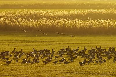 Flock of Dark-Bellied Brent Geese Feeding on Crops at Dusk, South Swale, Kent, UK, December