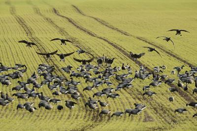 Flock of Dark-Bellied Brent Geese (Branta Bernicla) Feeding on Crops, South Swale, Kent, UK