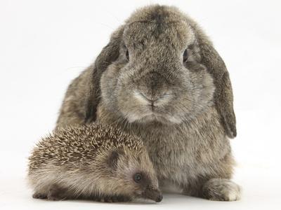 Baby Hedgehog and Agouti Lop Rabbit