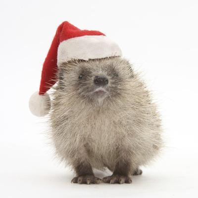 Baby Hedgehog (Erinaceus Europaeus) Wearing a Father Christmas Hat