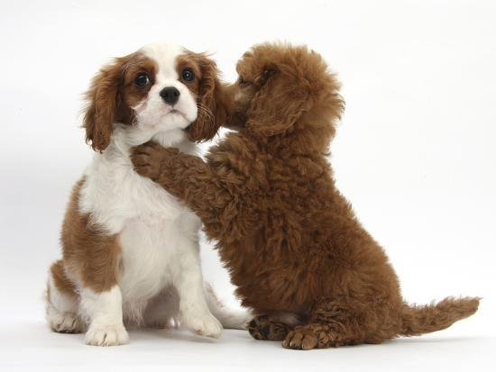 Blenheim Cavalier King Charles Spaniel Puppy 11 Weeks With Apricot Miniature Poodle Puppy