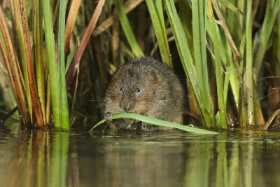 Water Vole (Arvicola Terrestris) Feeding Amongst Vegetation, Kent, England, UK, February