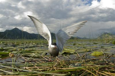 Whiskered Tern (Chlidonias Hybrida) on Nest with Eggs, Wings Stretched, Lake Skadar Np, Montenegro