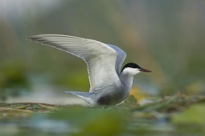 Whiskered Tern (Chlidonias Hybrida) Stretching Wings, Lake Skadar, Lake Skadar Np, Montenegro, May