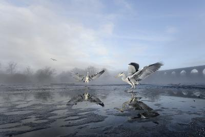Two Grey Herons (Ardea Cinerea) on Ice, Squabbling over Fish, River Tame, Stockport, UK