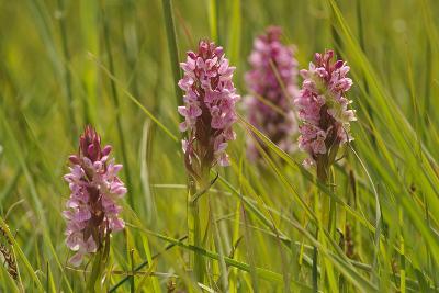 Southern-Marsh Orchids (Dactylorhiza Praetermissa) Wicken Fen, Cambridgeshire, UK, June