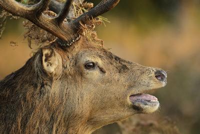 Red Deer (Cervus Elaphus) Stag Portrait, Bellowing with Bracken in Antlers, London, UK