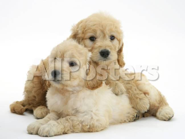 Miniature Goldendoodle Puppies Golden Retriever X Miniature Poodle