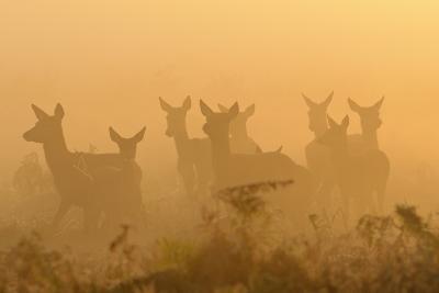 Red Deer (Cervus Elaphus) Hinds in Mist at Sunrise, Bushy Park, London, UK, October