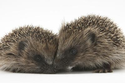 Two Young Hedgehogs (Erinaceus Europaeus) Sitting Together