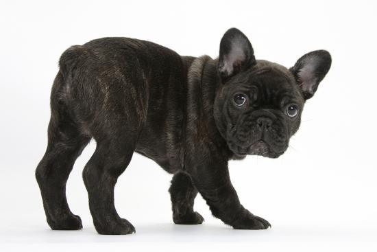 Dark Brindle French Bulldog Pup Bacchus 9 Weeks Old Photographic