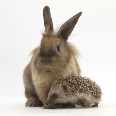 Baby Hedgehog and Young Lionhead-Cross Rabbit