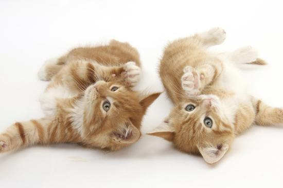 two ginger kittens rolling playfully on their backs photographic