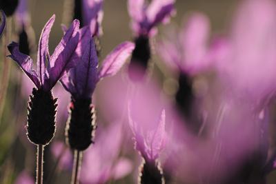 Close Up of Spanish Lavender (Lavandula Stoechas) Monfrague Np, Extremadura, Spain, March