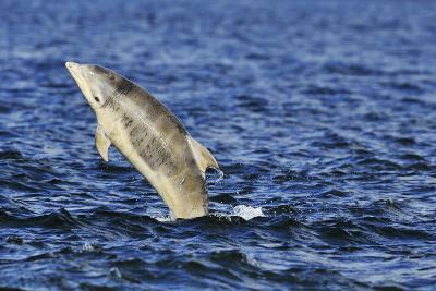 Juvenile Bottlenosed Dolphins (Tursiops Truncatus) Jumping, Moray Firth, Nr Inverness, Scotland