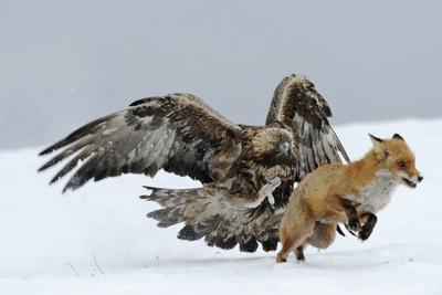 Golden Eagle (Aquila Chrysaetos) Adult Defending Carcass from Red Fox (Vulpes Vulpes), Bulgaria