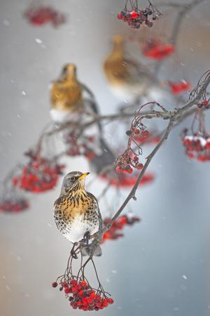 Fieldfare (Turdus Pilaris) on Fruit Tree in Snow Helsinki, Finland