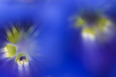 Stemless Gentian (Gentiana Clusii) Flowers, an Ant in One of Them, Liechtenstein