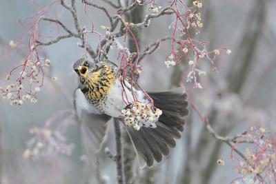 Fieldfare (Turdus Pilaris) Feeding on Rowan Berries (Sorbus Hupehensis) Perthshire, Scotland