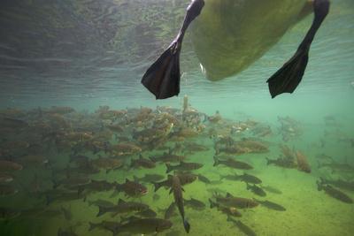 Chub Fish (Leuciscus Cephalus) and Mute Swan (Cygnus Color) Swimming Over, Rhine River, Switzerland