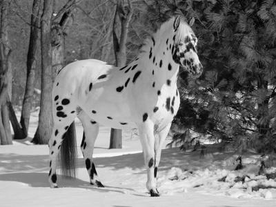 Appaloosa Horse in Snow, Illinois, USA
