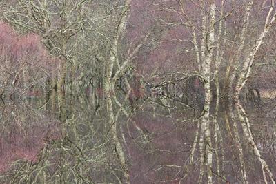 Flooded Birch and Alder Woodland in Autumn, Cairngorms National Park, Scotland, UK