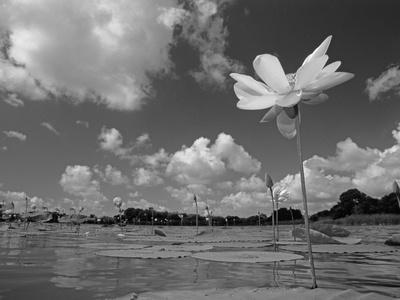 American Lotus, in Flower, Welder Wildlife Refuge, Rockport, Texas, USA