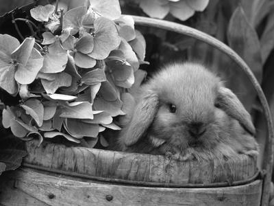 Baby Holland Lop Eared Rabbit in Basket, USA