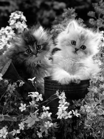 7-Weeks, Gold-Shaded and Silver-Shaded Persian Kittens in Watering Can Surrounded by Flowers