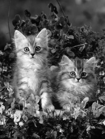 Domestic Cat, 8-Week, Two Fluffy Silver Tabby Kittens Amongst Winter-Flowering Pansies