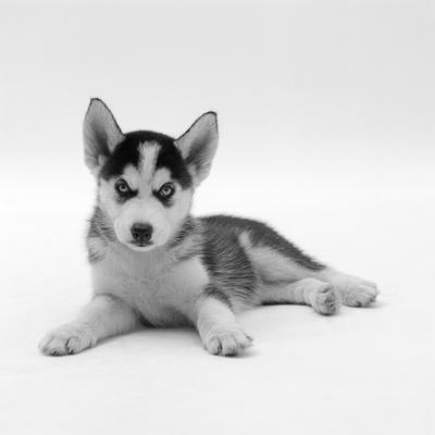 Blue-Eyed Siberian Husky Dog Puppy, 6 Weeks Old, Lying Down