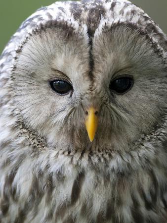 Ural Owl (Strix Uralensis) Portrait, Bergslagen, Sweden, June 2009