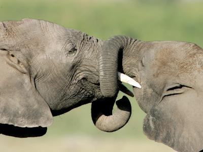 Two Elephant Calves Play, Jan. 4, 2006 in the Amboseli National Park in Kenya