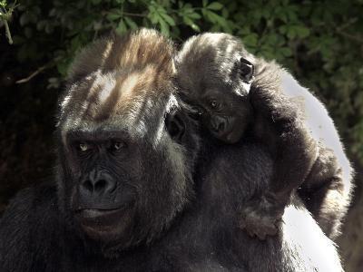 A Baby Gorilla Rests on His Mother Julia's Shoulder