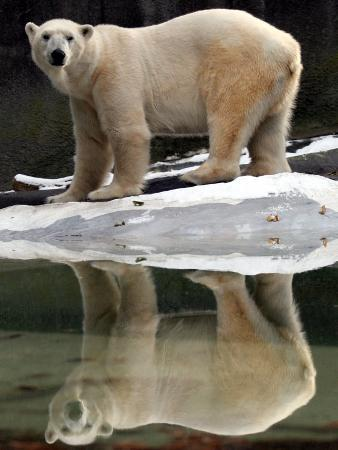 A Polar Bear Stands at the Edge of a Pool at the Bronx Zoo