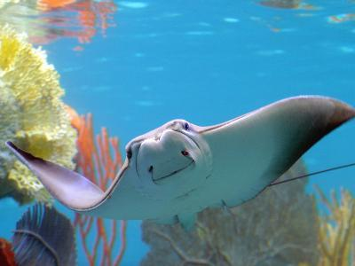 A Cow Nose Ray Swims
