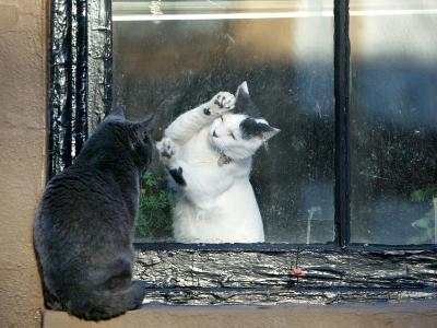 Separated by a Pane of Glass, a White Cat Tries to Play with a Black Cat