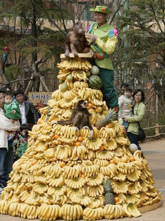 Playful Orangutans, Seoul, South Korea, c.2007
