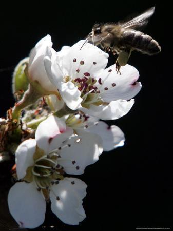Bee and Pear Blossom, Bruchkoebel, Germany