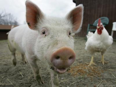 Pigs across America, Ravenna, Ohio