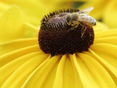 A Bee Collects Pollen from a Black-Eyed Susan
