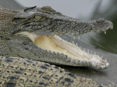 A Young Saltwater Crocodile