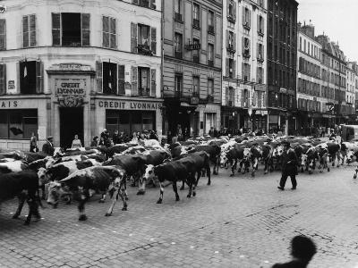 A Herd of Cattle is Driven Along a Paris Streen